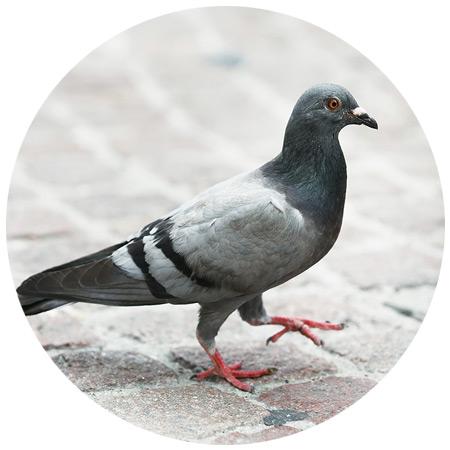 Pigeon & Bird Control