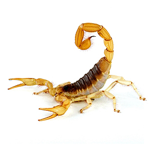 Arizona Bark Scorpion (Hadrurus arizonensis).