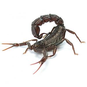 Scorpion Look Alikes