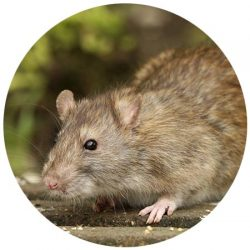 Rodent Control Scottsdale