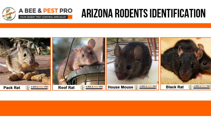 Arizona Rodents Identification Pack Rat Mouse Roof Rat