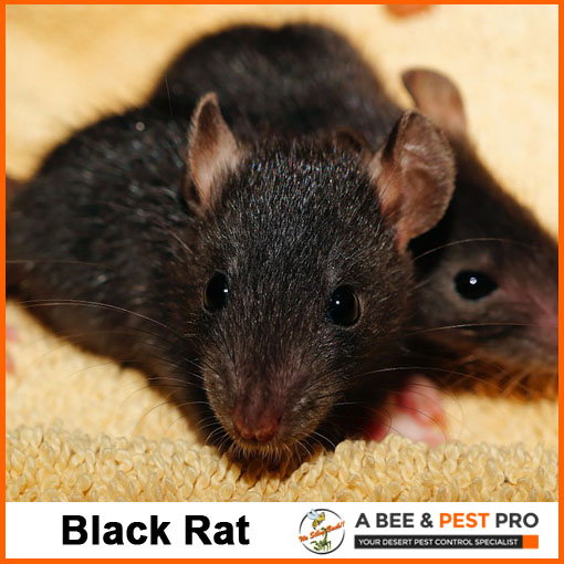 Black Rat Picture - Rodent Identification