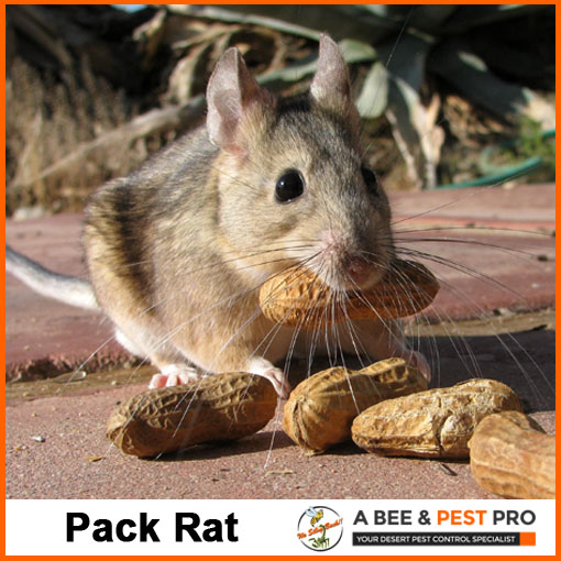 Pack Rat Picture - Rodent Identification