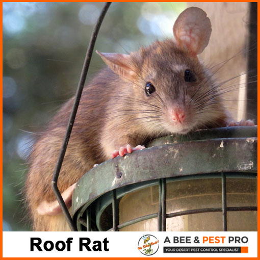 Roof Rat Picture - Rodent Identification